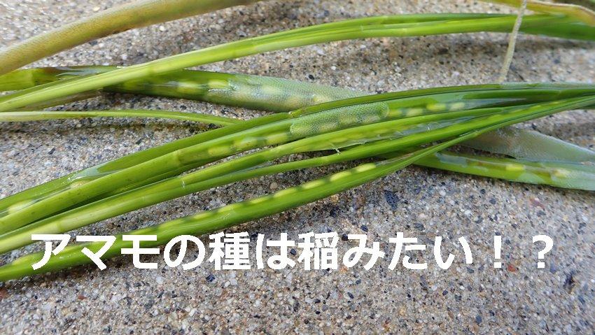 アマモの種は稲みたい!?いのこ家海水水槽飼育日記