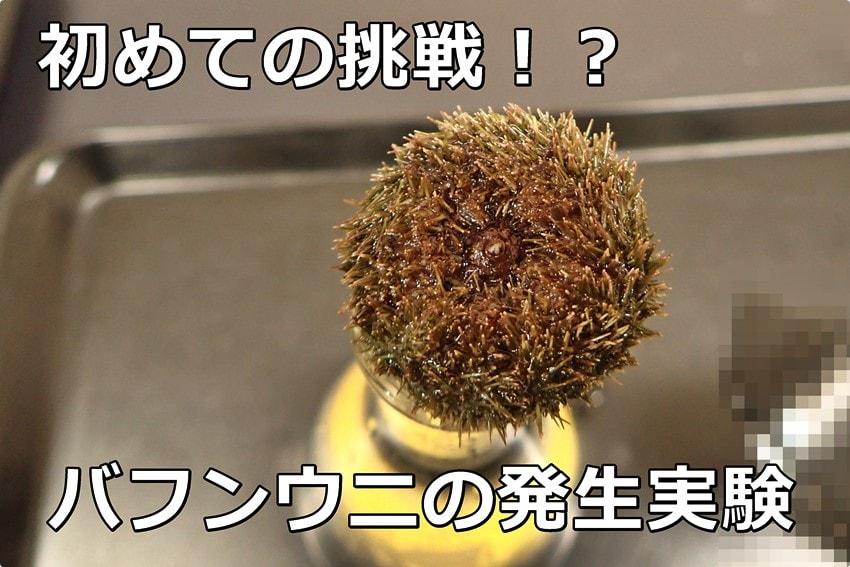 ウニの発生実験