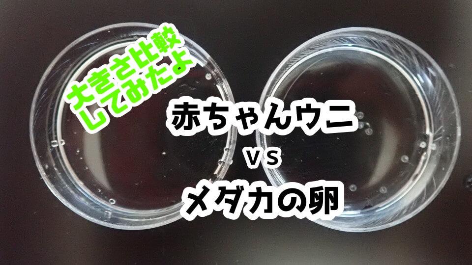 稚ウニ(バフンウニ)とめだかの卵の大きさ比較