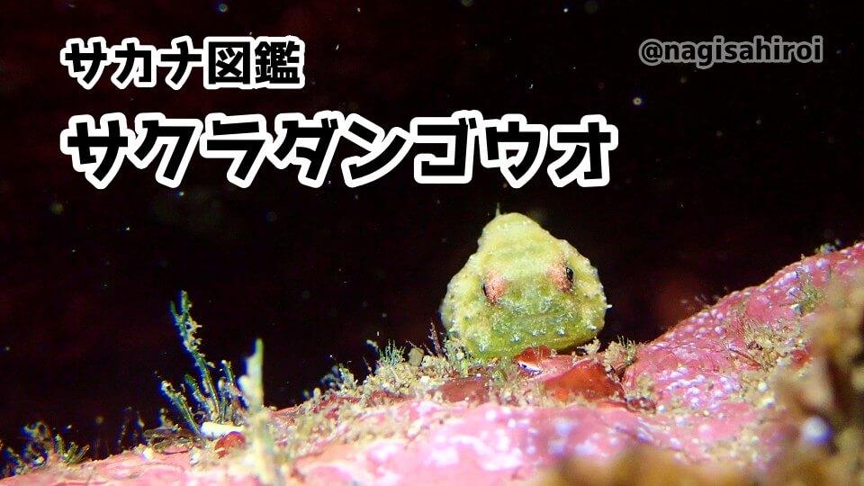 ダイビングで出会えるウミウシ図鑑「サクラダンゴウオ」