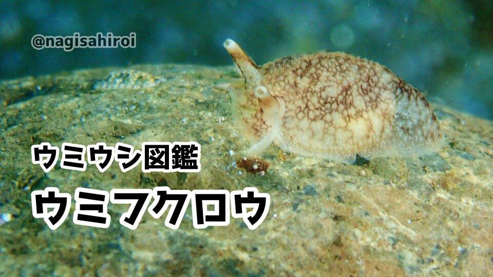 「ウミフクロウ」ダイビングで出会えるウミウシ図鑑
