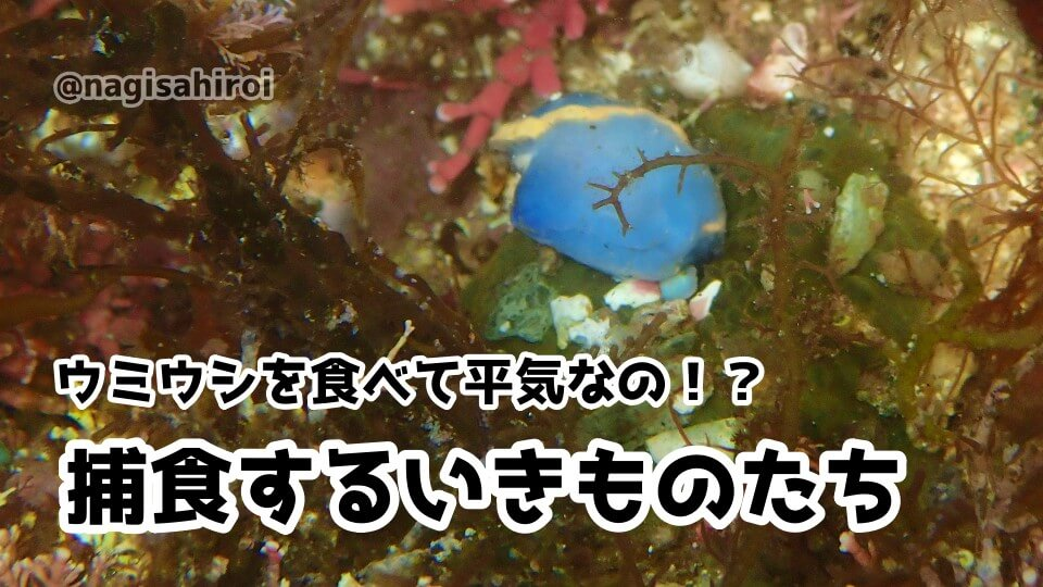 ウミウシを捕食する生きもの達