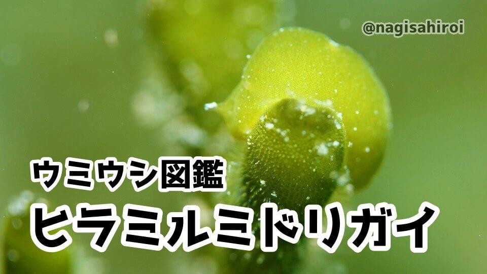 「ヒラミルミドリガイ」ダイビングで出会えるウミウシ図鑑