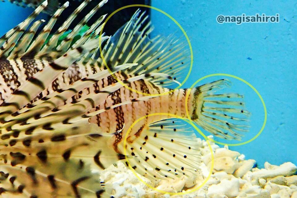 ミノカサゴの特徴②尾びれ・背びれ・尻びれに斑紋が無いか、あっても薄い・少ない