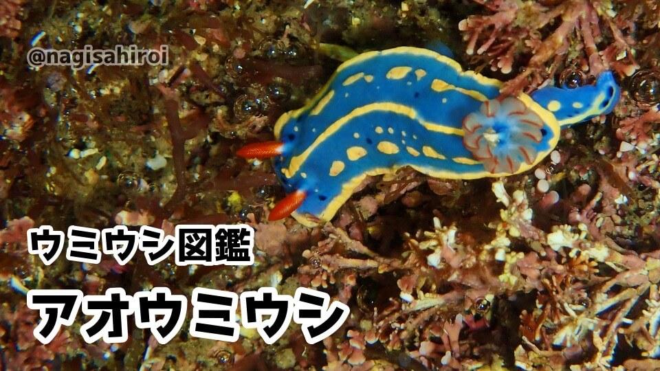 「アオウミウシ」ダイビングで出会えるウミウシ図鑑