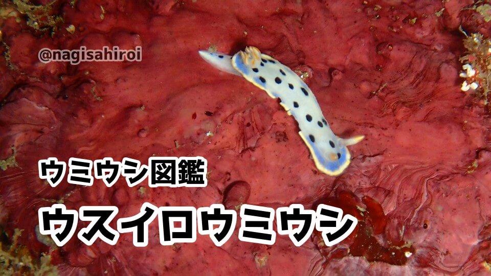 「ウスイロウミウシ」ダイビングで出会えるウミウシ図鑑