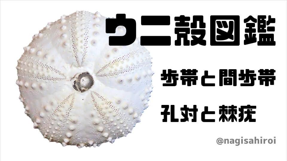 「歩帯・間歩帯・孔対・棘疣」をウニ殻で観察