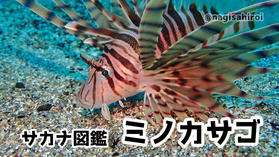 ダイビングで出会えるサカナ図鑑「ミノカサゴ」