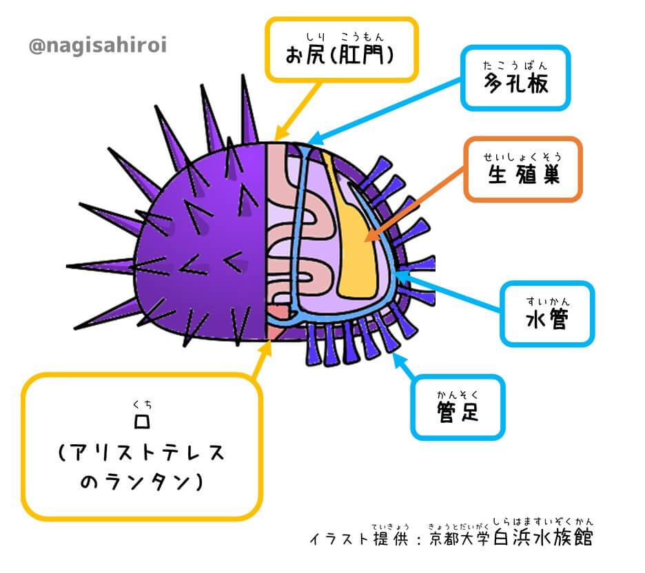 ウニの構造イラスト「京都大学白浜水族館」提供