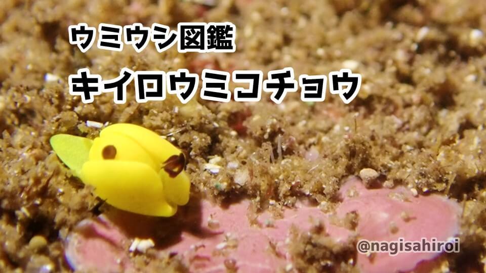 ダイビングで出会えるウミウシ図鑑「キイロウミコチョウ」