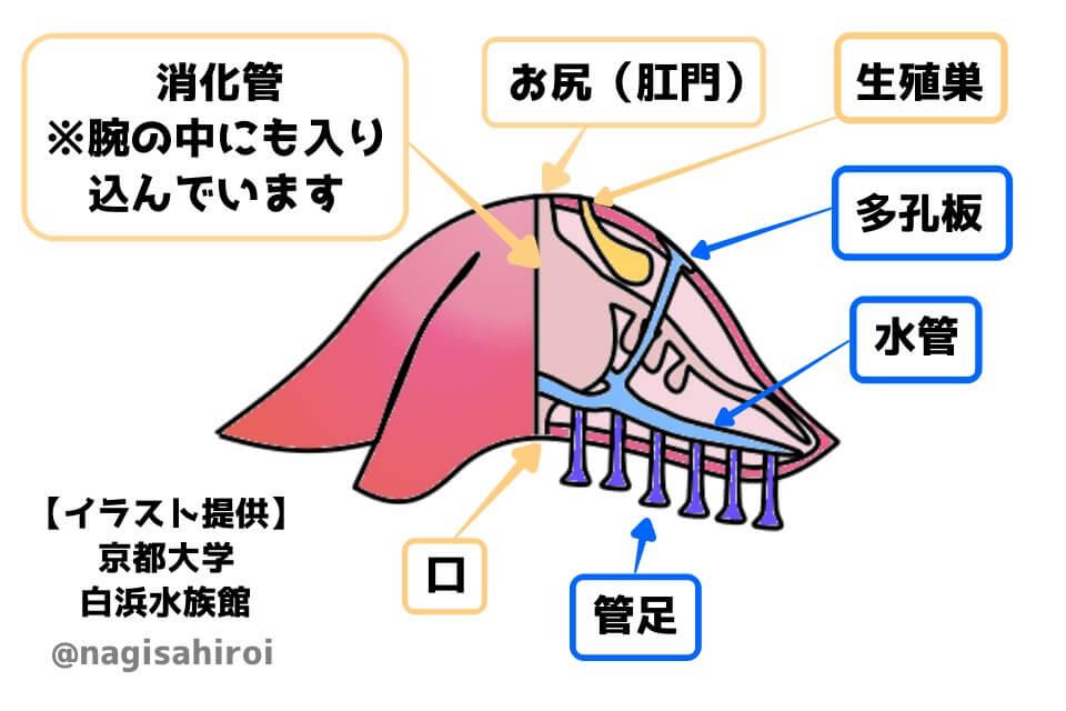 ヒトデの構造イラスト「京都大学白浜水族館」提供