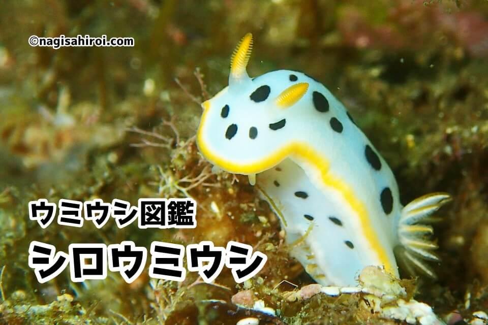 「シロウミウシ」ダイビングで出会えるウミウシ図鑑