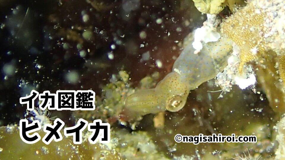 「ヒメイカ」ダイビングで出会えるイカ図鑑