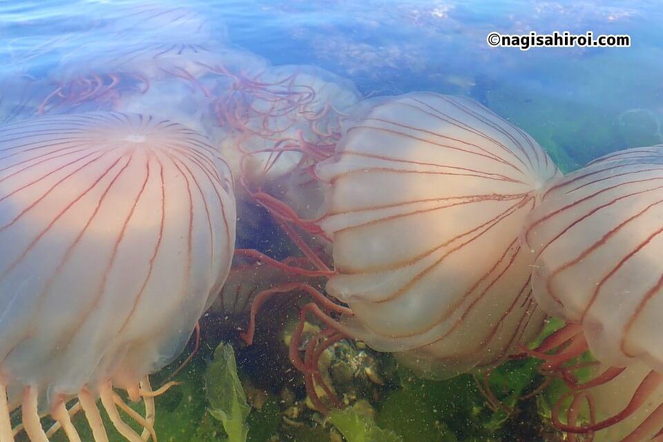 吉良ワイキキビーチのアカクラゲ