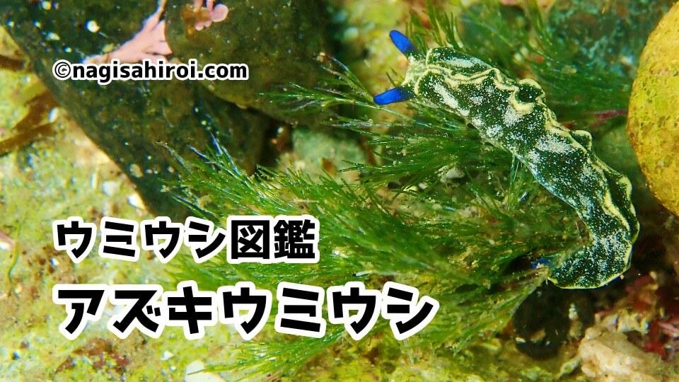 「アズキウミウシ」ダイビングで出会えるウミウシ図鑑