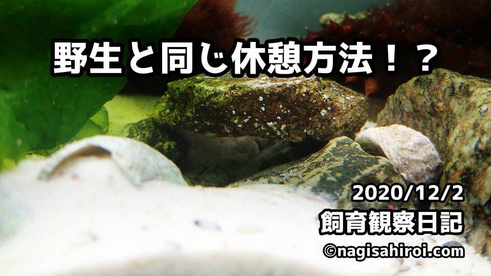 なぎさひろい棘皮動物水槽飼育日記2020.12.2