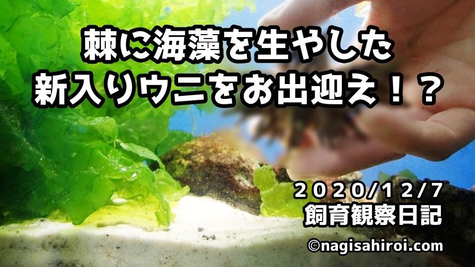 なぎさひろい棘皮動物水槽飼育日記2020.12.7