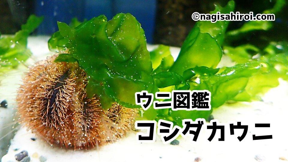 「コシダカウニ」ダイビングで出会えるウニ図鑑