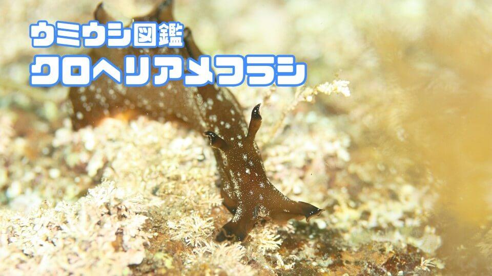「クロヘリアメフラシ」ダイビングで出会えるウミウシ図鑑
