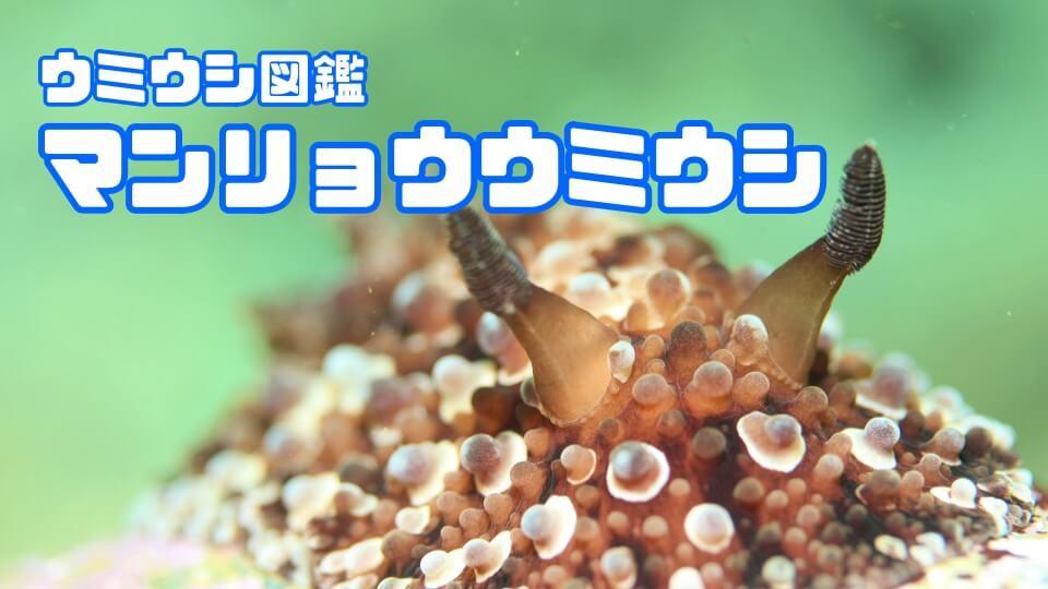 「マンリョウウミウシ」ダイビングで出会えるウミウシ図鑑