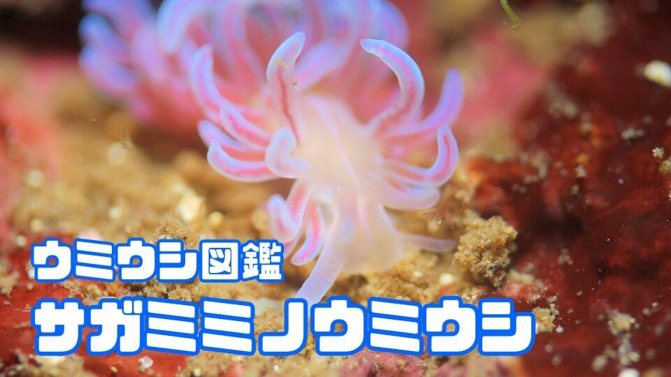 「サガミミノウミウシ」ダイビングで出会えるウミウシ図鑑