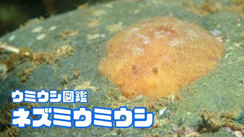 「ネズミウミウシ」ダイビングで出会えるウミウシ図鑑